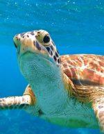 Feed-the-turtles-Farmers-Cay-Bahamas