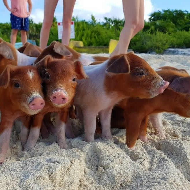 Staniel_Cay_Vacation_pigs