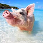 Swimming Pigs Day Tour From Nassau