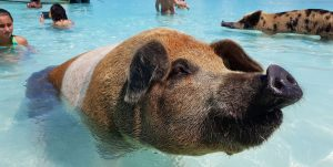 Pigs Beach Pig