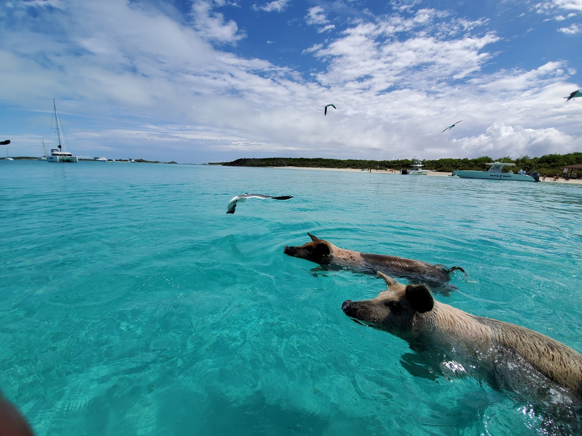 Swimming Pigs - Staniel Cay Adventures