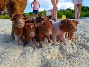 Swiming Pigs Tour