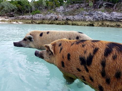 The Swimming Pigs Staniel Cay Adventures Bahamas